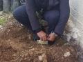 زراعة أشجار زيتون تحمل كل ...